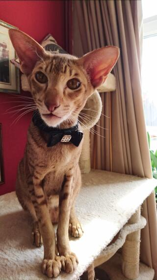 This is Billy, a pedigree Caramel Spotted Tabby Oriental.  A character and a delightful chap.