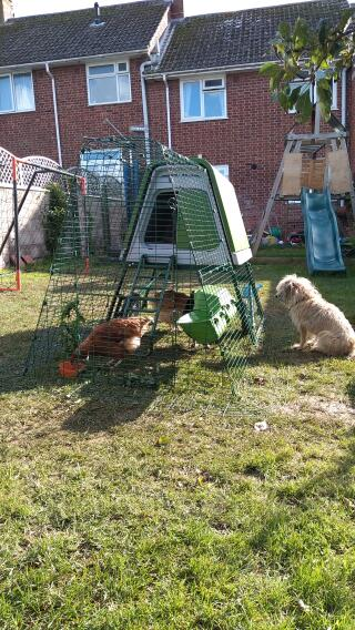 Penny the Border Terrier guarding her new chickens!
