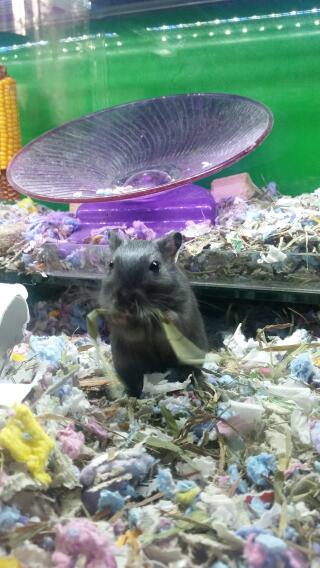 Black male gerbil - hank