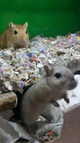 Chinchilla coloured gerbil