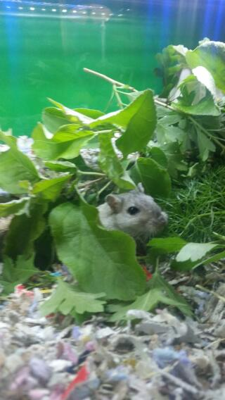 Gerbil eatting natural forage