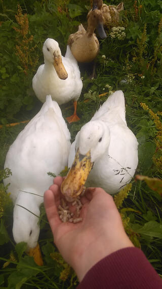 Hungry ducks