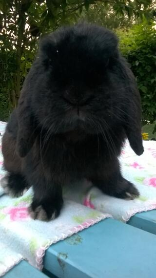 "black mini lop buck ! ""batman"""