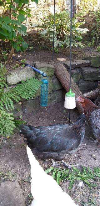 Olive pecking and Edith eating the spoils!