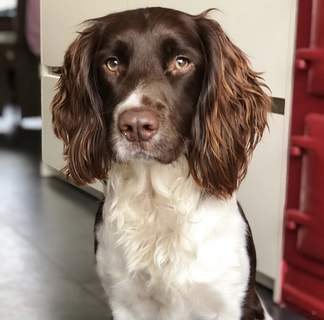 Rotule, English Springer Spaniel de 2 ans !