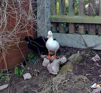Donald and Jemima, Call ducks