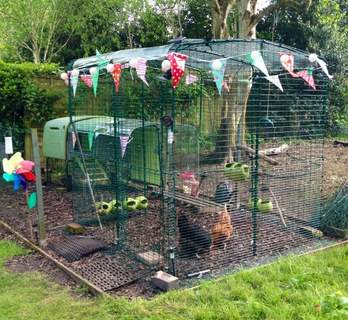Happy days! Awaiting the arrival of ex-battery hens