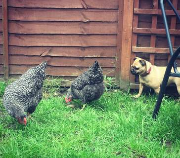 My dog loves having the chickens out to play with!