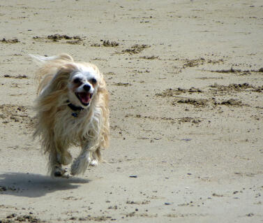 """Run Ollie Run"" - Chinese crested powderpuff"
