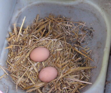 I love collecting the eggs and so does my grandson, our 4 hens lay us 2 dozen eggs a week