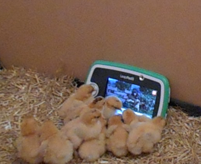 Our chicks watching Shaun the Sheep!