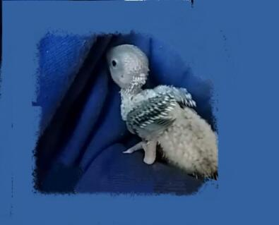 Cute Australian Budgerigar Chick