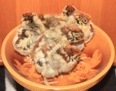 golden campine chicks