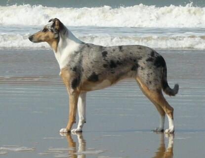 smooth collie bleu merle