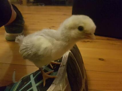 One week old araucana