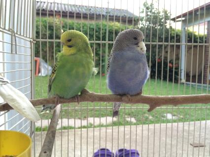 Cutest Baby Budgies