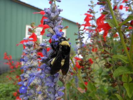 Bumblebee on Salvia