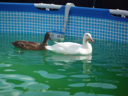 ducks in pool