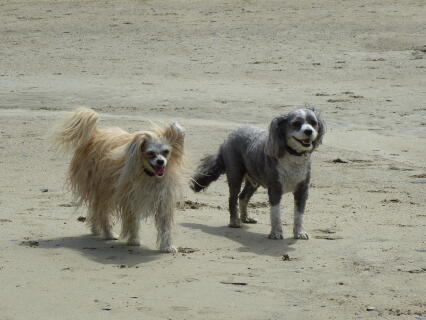 Ollie and Bo (Half brother Chinese crested powderpuffs)