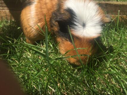 Tri colour crested pig