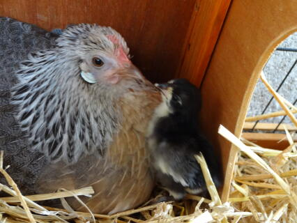Dutch bantam with rosecomb chick