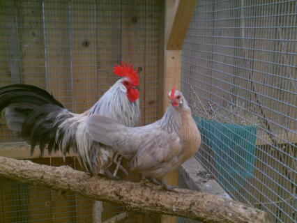 pair of lavender dutch bantams