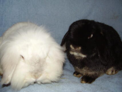 Pheonix and hermione, our dwarf and lionhead lops
