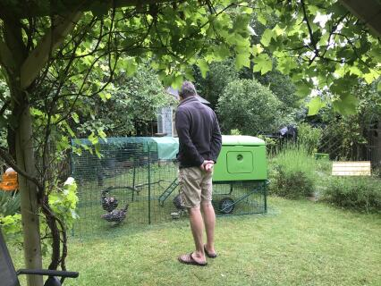 The young chickens loving the run and coop