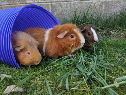 Three guinea pigs enjoying the outside