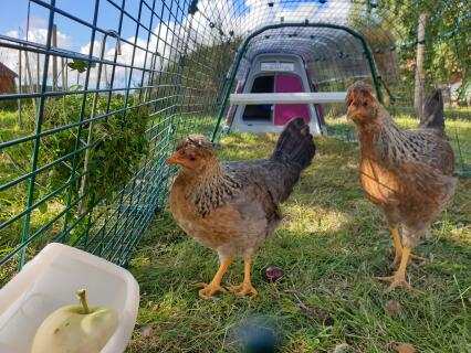 Cream legbar hens in their Eglu go