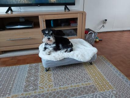 Our mini schnauzer pup loves her new big girl bed