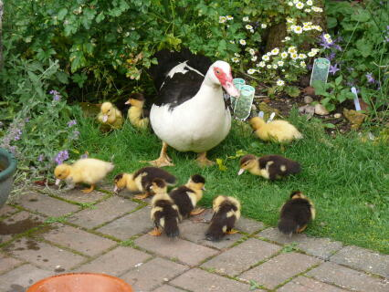 Muscovy hen with ducklings