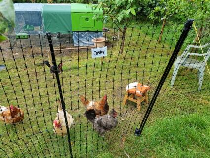 Fencing looks good and keeps chickens safe