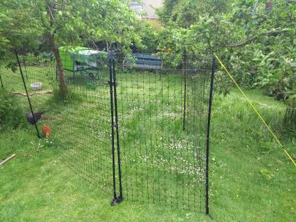 Moved fencing under the fruit trees - the hens love the long grass