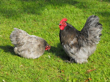 Blue Pekin Pair bf