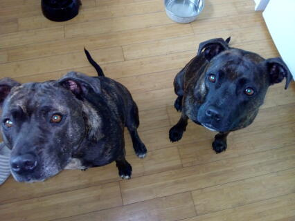 My two gorgeous Staffies
