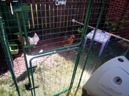 Our new hens making themselves at home!