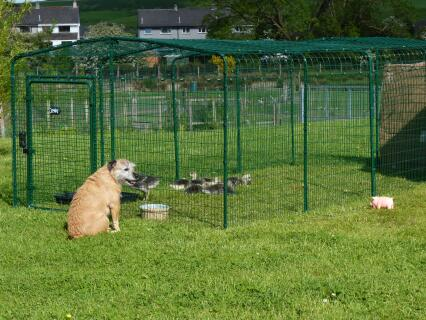 Peanut overseeing our goslings here in South West Scotland
