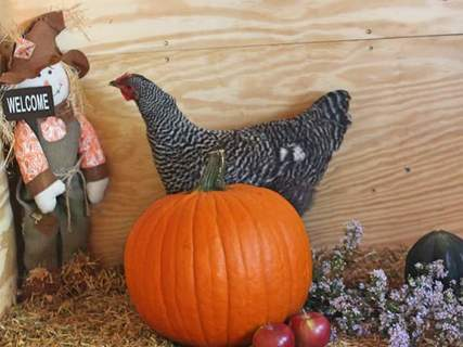 Stranger in the coop. Happy Fall ♡