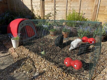 My new Eglu and Chooks - I'm so happy ????