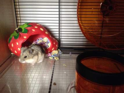 My hamster in her new quote hamster cage