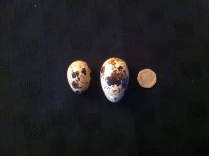 Biggest egg I've had from a Jap quail.