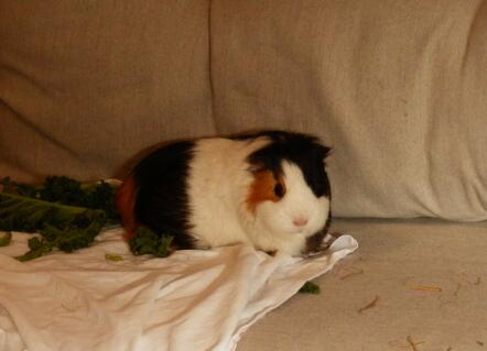 This is my cute guinea pig named Truffle