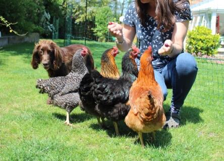 My spaniel and chickens are best of friends