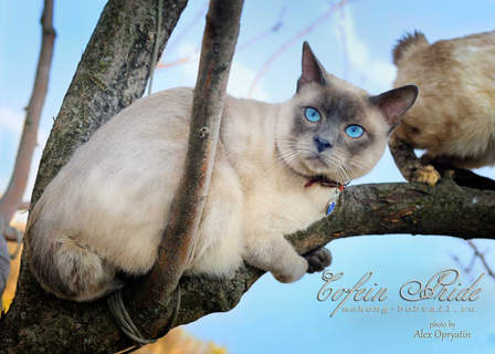 Mekong BOBTAIL, blue-point male Cofein of Cofein-Pride cattery, Moscow, Russia.
