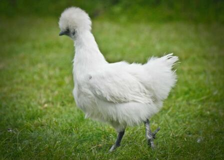 White Silkie Pullet