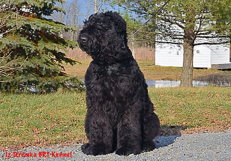 Black Russian Terrier Danik