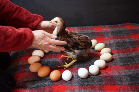 little araucana chicken