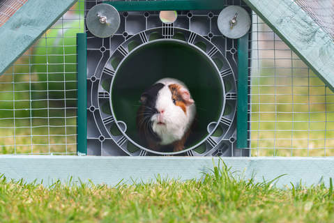 Jersey the Guinea Pig in her Omlet Zippi tunnel