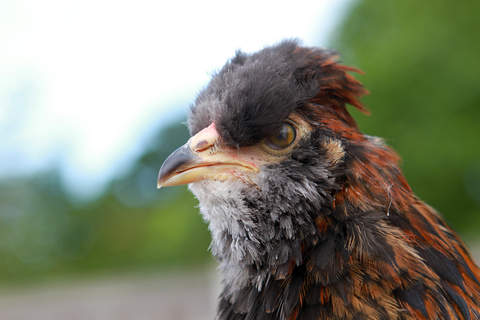 Black red Araucana boy aged 11 weeks